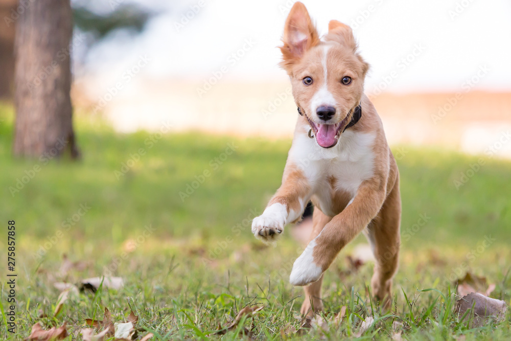 Fototapeta A playful red and white mixed breed puppy running through the grass with a happy expression