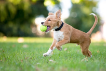 A Playful Red And White Mixed Breed Puppy Running Through The Grass With A Ball In Its Mouth