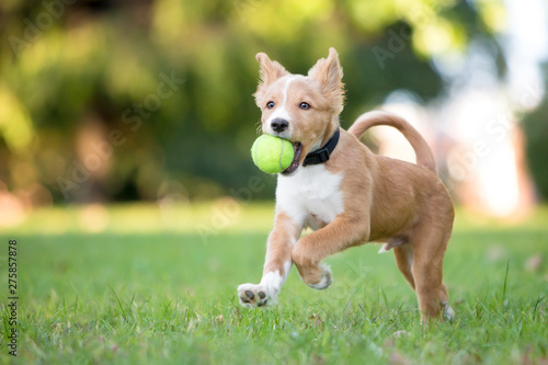 Poster Affiche vintage A playful red and white mixed breed puppy running through the grass with a ball in its mouth