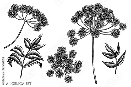 Fotografiet Vector set of hand drawn black and white angelica