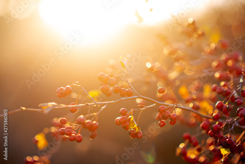 Foto op Aluminium Bomen Sprig with briar at sunset. Rosehip berries in a beautiful sunset light. The power and beauty of nature.