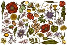 Vector Set Of Hand Drawn Colored Almond, Dandelion, Ginger, Poppy Flower, Passion Flower, Tilia Cordata