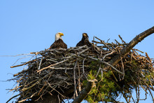 Bald Eagle With Chick Sitting In The Nest