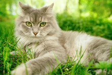 Cat In Green Summer Grass Outside In Garden. Grey Long Hair Ragdoll With Green Eyes.