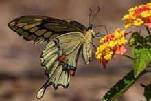 Swallowtail Butterfly On Lantana Plant