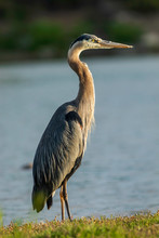 Great Blue Heron Extended Neck