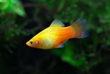 Xiphophorus Maculatus - Platy