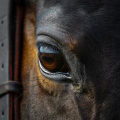 Eye of a beautiful horse close up on dark background, animal looks