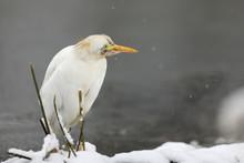 Great White Egret In Winter - ...