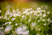 White Daisies Swaying In The Wind