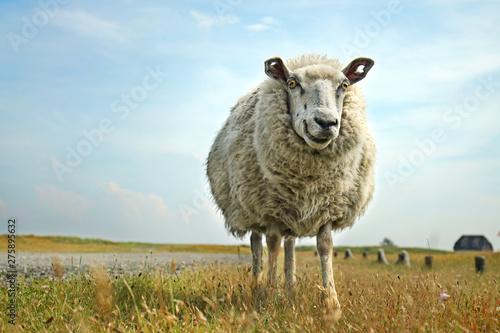 Foto op Plexiglas Schapen lachendes Schaf an der Nordsee