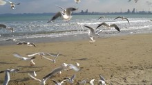 Flock Of Seagulls Flies Towards Camera On The Pohang City Beach In Front Of Posco Factory.