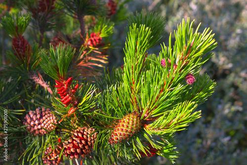 Obraz pine cone on a branch - fototapety do salonu