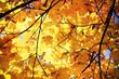 Leinwanddruck Bild - Sunny daylight illuminates crown of maple tree, autumn time in city park, yellow autumn foliage background and texture