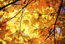 Sunny Daylight Illuminates Crown Of Maple Tree, Autumn Time In City Park, Yellow Autumn Foliage Background And Texture