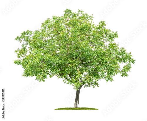 Fotografia, Obraz  An isolated  tree on a white background - Walnut