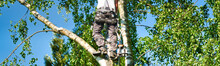 Mature Male Tree Trimmer High In Birch Tree, 30 Meters From Ground, Cutting Branches With Gas Powered Chainsaw And Attached With Headgear For Safe Job