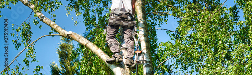 Fotomural  Mature male tree trimmer high in birch tree, 30 meters from ground, cutting bran