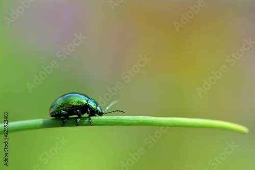 Canvastavla Nahaufnahme eines Minzblattkäfers auf einem Stängel, freigestellt vor grünem Hin