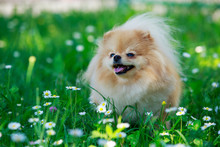 The Dog Breed Pomeranian Spitz
