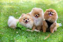 Pet Animal; Cute Pomeranian Do...