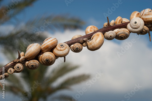 Fényképezés Plenty of shelled snails set up on the branch on the natural background of clear blue sky and green palm trees, closeup