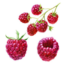 Watercolor Illustration, Set. Raspberries On The Side, From Different Angles. Raspberries On A Branch.