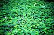Leinwanddruck Bild - Background from plant clover four leaf. Irish traditional symbol. St.Patrick 's Day.