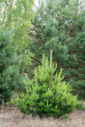young pine trees in forest