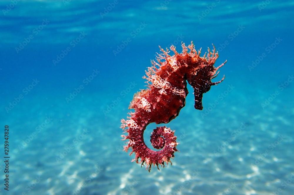 Fototapety, obrazy: Mediterranean Seahorse - Hippocampus guttulatus