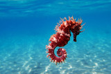Fototapeta Fototapety do akwarium - Mediterranean Seahorse - Hippocampus guttulatus