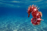 Mediterranean Seahorse - Hippocampus guttulatus