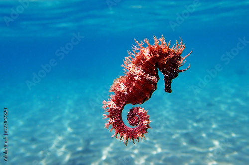 Mediterranean Seahorse - Hippocampus guttulatus Fotobehang
