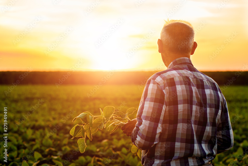 Fototapety, obrazy: Rear view of senior farmer standing in soybean field examining crop at sunset.