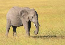 Cute Little Baby Elephant Calf Loxodonta Africana Grazing Green Grasslands Masai Mara National Reserve Kenya East Africa