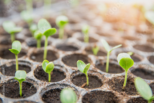 Spoed Foto op Canvas Planten germinating seed to sprout of nut in agriculture and plant grow with sunlight