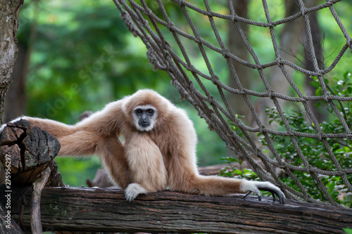 фотография white-handed gibbon sitting alone on the timber.
