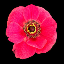 Single Isolated Red Anemone Blossom Macro On Black Background, Still Life Fine Art Close-up Of A Wide Open Bloom With Detailed Texture