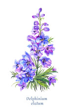 Delphinium Illustration, Water...