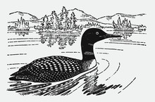 Common Loon Or Great Northern Diver, Gavia Immer Swimming On A Lake In A Landscape With Trees And Mountains. Illustration After A Historical Engraving From The Early 20th Century