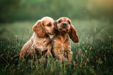 American Cocker Spaniel Red Pu...