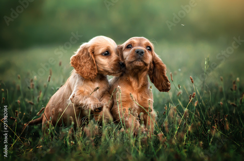 american cocker spaniel red puppy very cute eyes beautiful portrait at sunset Wallpaper Mural