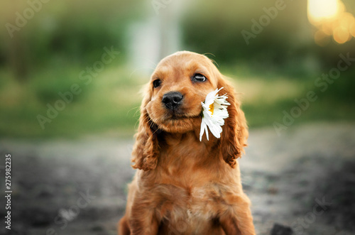 Fotografiet american cocker spaniel red puppy very cute eyes portrait with flowers