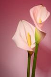 Beautiful flower calla with beautiful neon light on a pink background. Two beautiful flowers.