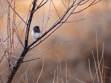 Dark-eyed Junco Perched On A Tree Branch