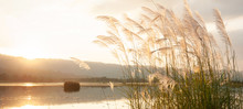 A Tranquil Sunset Lake With Reed Flowers Are In Bloom.