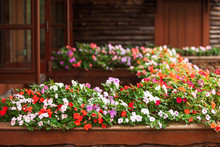 Blooming Impatiens Flowers On ...