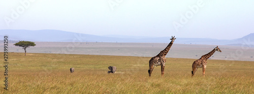 Giraffes and elephants banner Canvas Print