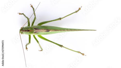 Photo Big green grasshopper on white background close up