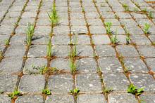 Weeds Growing Between Brick Paving Stones In Untreated Cobbled Area